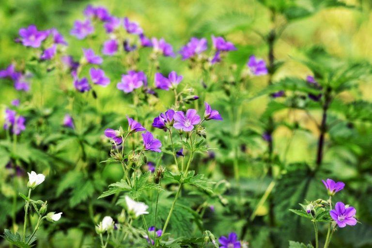Växter i repris: Midsommarblomster