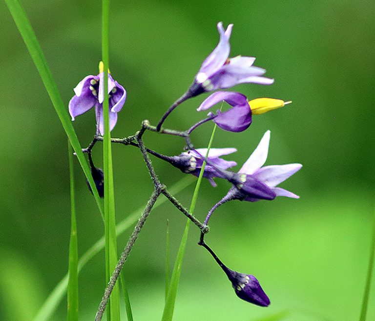 Växter på Lidingö: Besksöta