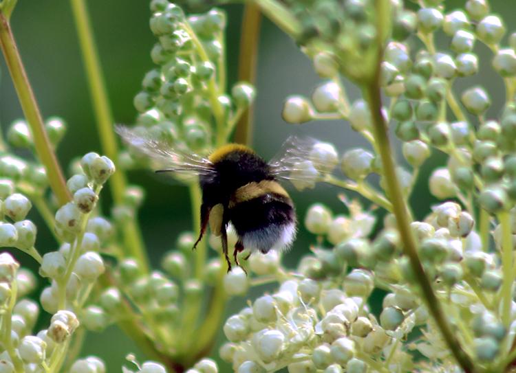 Pollinera mera
