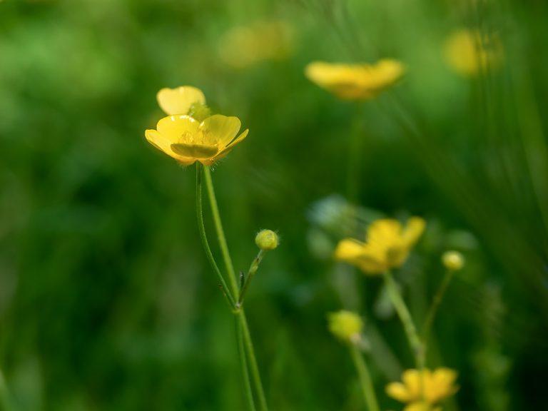 Växt på Lidingö: Smörblomma
