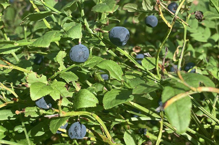 Växter på Lidingö: Blåbär
