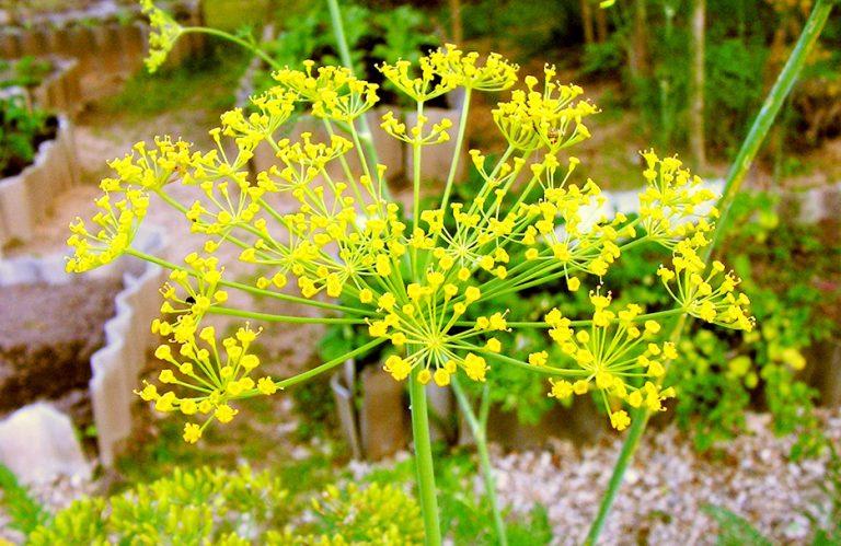 Växter på Lidingö: dill