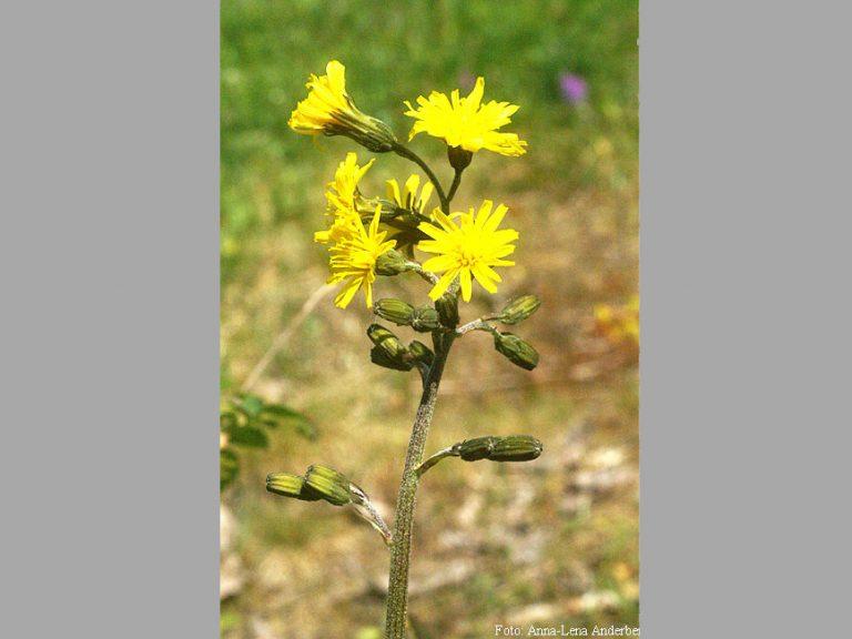 Växter på Lidingö: Klasefibblan