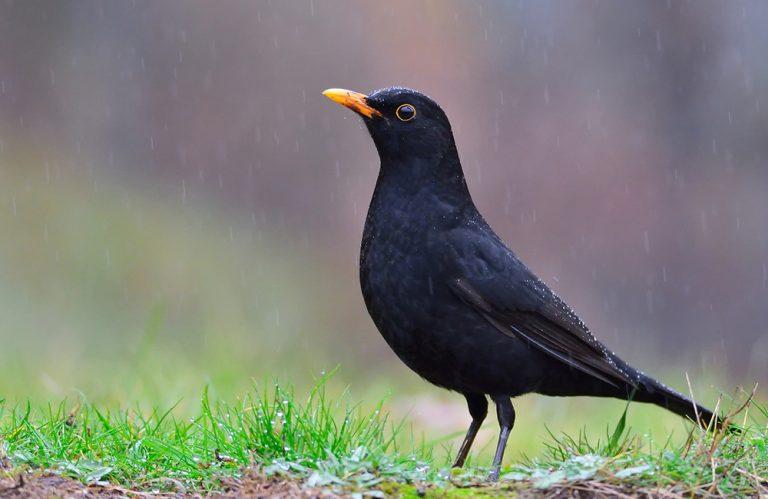Fåglar på Lidingö: Mer om koltrasten