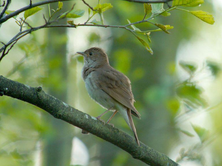 Fåglar på Lidingö: Näktergal