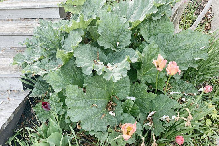 Växter på Lidingö: Rabarber