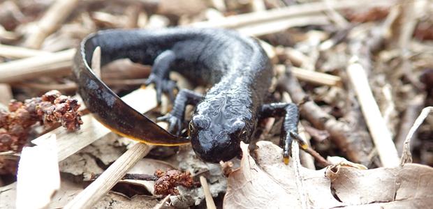 Ovanliga salamandrar trivs på ön