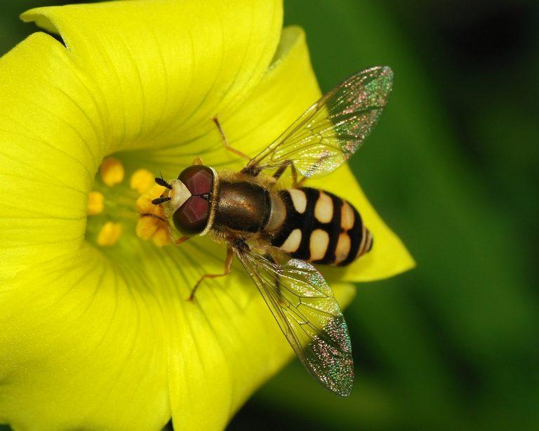 Djur på Lidingö: Blomfluga