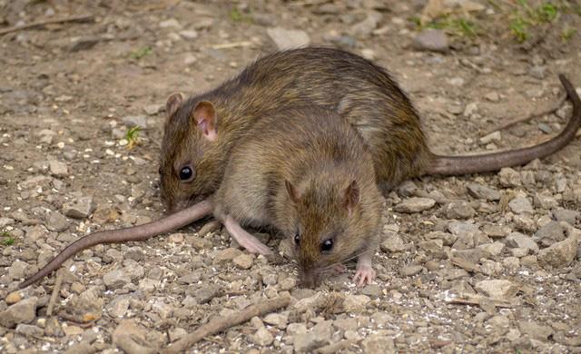 Elva sätt att bli av med råttor