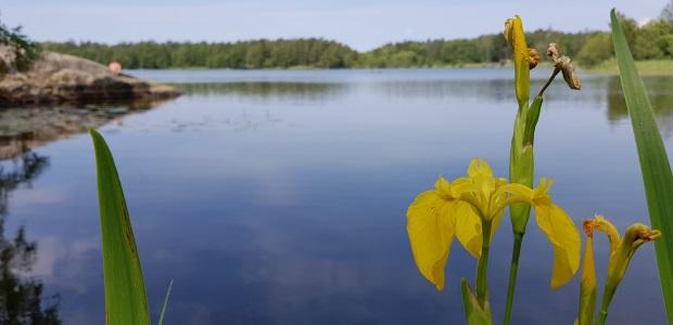 Växter på Lidingö: Gul svärdslilja