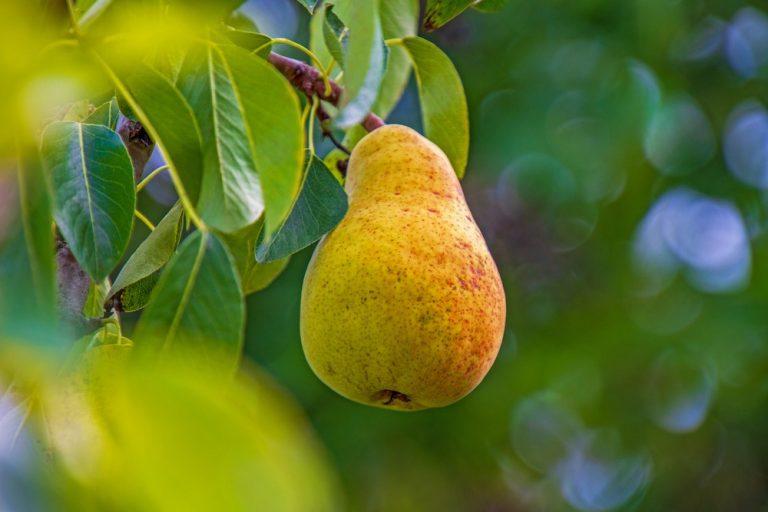 Skydda dina päronträd från päronrost